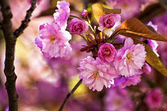 Nature in spring: delicate cherry tree flowers with blurred back Stock Photography