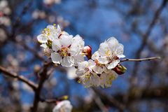 Flowering branch, pale white flowers with yellow pollen against the blue sky Royalty Free Stock Photo