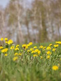 Nature spring yellow flowers. Spring field with yellow flowers with trees on background Stock Photos