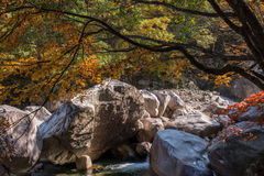 Nature stream in autumn leaves and big rocks in mountain. Mountain stream with big rocks and autumn tree leaning to left with bright many colors Stock Images