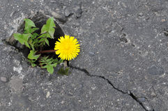 Nature success against concrete. A yellow flower wins against concrete footpath Royalty Free Stock Images