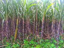 Nature.sugar cane trees that flourish in the country of Indonesia royalty free stock images