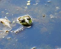Frog`s head peeps out of the water. Nature summer amphibian animal frog head peeps out of the lake water Stock Photography
