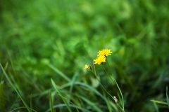 Nature Summer Background with autumn hawkbit flowers. royalty free stock photo