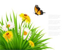 Nature summer background with daisy flower with butterfly. Vector illustration Royalty Free Stock Images
