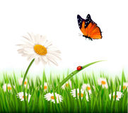 Nature summer daisy flower with butterfly. Vector illustration Stock Photo