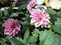 Flowering plant flower dahlia with pink petals. Nature summer garden beautiful blooming plant flower dahlia with pink petals royalty free stock images