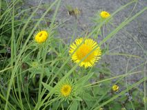 Flowering plant with yellow flower. Nature summer meadow flowering plant with yellow flower green leaves growing in grass Royalty Free Stock Photography