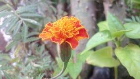 Nature Sunflower Beauti. This is a beautifull flower stock photo