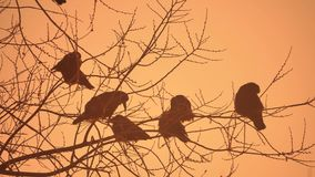 Nature sunset crows flock of birds sitting on the tree cold winter Stock Photos