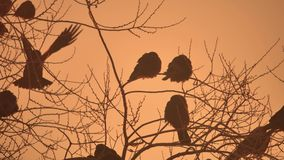 Nature sunset crows flock of birds sitting on the tree winter cold Stock Photography