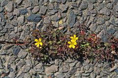 Nature surviving. Yellow flowering oxalis plant surviving between pavement slabs royalty free stock image