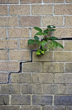 Nature surviving in the city. Fresh green plant grows through a brick wall Royalty Free Stock Image