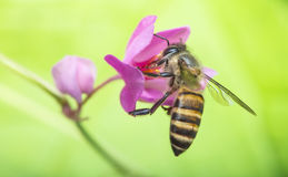 Nature Symbiosis. Symbiosis relationship of bee pollinating pink coral vine flower Royalty Free Stock Image