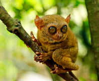 Tarsier on the tree. Bohol island, Philippines Royalty Free Stock Photo