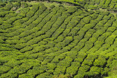 Nature  tea plantation view near the mountain with beautiful blue sky at Cameron Highlands Royalty Free Stock Photo