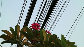 Nature and technology, Plumeria flowering tree and electrical power lines stock video