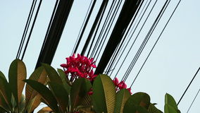 Nature and technology, Plumeria flowering tree and electrical power lines stock video footage