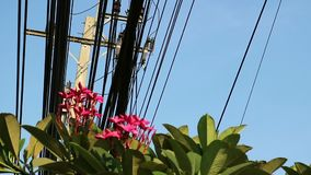 Nature and technology, Plumeria flowering tree and electrical power lines. Contrast between nature and technology, Plumeria flowering tree and electrical power stock footage