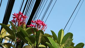 Nature and technology, Plumeria flowering tree and electrical power lines. Contrast between nature and technology, Plumeria flowering tree and electrical power stock video