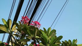 Nature and technology, Plumeria flowering tree and electrical power lines. Contrast between nature and technology, Plumeria flowering tree and electrical power stock video footage