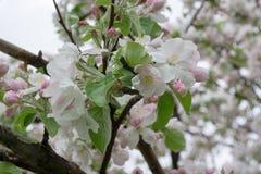 Bloomed apple trees. Nature in Tekeli. Spring. Kazakhstan royalty free stock image
