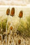 Nature Thistle. Image of some thistles in a natural background Stock Images