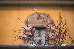Nature in Tirana, Albania. Apricot tree blooming in January in Tirana. The window of municipality building is blurred in the background Stock Photos