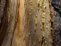 Nature trail. Detail of some sap on a summer tree stock photography