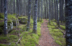 Nature Trail. A dirt trail leading through a dense, mossy forest Royalty Free Stock Image