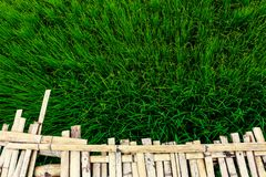 Rice field plant nature food asia thailand Royalty Free Stock Image