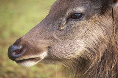 Nature travel in thailand. Closeup of the deer head Stock Photography