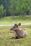 Nature travel in thailand. A deer sit on a grass Stock Images