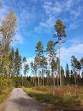 Nature tree bluesky pinetree forest. Tree nature finland north backrounds north scandinavia Finland Royalty Free Stock Image