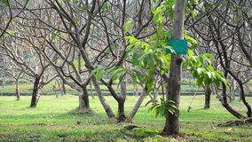 Nature tree wind and bird at public park in Nonthaburi Thailand. This public park is located beyond Wat Chaloem Phra Kiat. It covers an area of 40 acres. The stock video footage