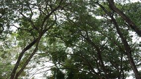 Nature tree wind and bird at public park in Nonthaburi Thailand stock video