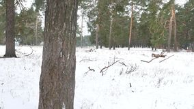 Nature trees forest christmas tree, snow frost cold landscape the winter stock footage