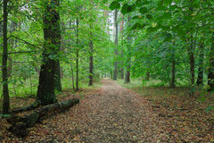 Nature, trees in forest. Royalty Free Stock Photos