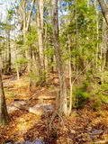 Nature and trees. This is a picture of some trees that I took in a forest in Maine you can see the trees in the background stock images
