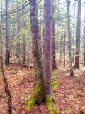 Nature and trees. This is a picture of some trees that I took in a forest in Maine you can see the trees in the background royalty free stock photos