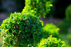 Trimmed bushes in a garden Stock Images