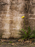 Nature triumphs over adversity - dandelion by old  Stock Photography