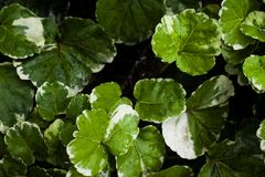 Nature of leaves Polyscias. stock image
