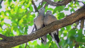 The nature of the two doves on the branches.  stock video footage