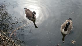 Nature. Two geese at central park Stock Photo