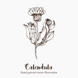 Nature vector calendula flower sketch hand drawing illustration Royalty Free Stock Photo