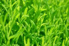 Nature verte, fond d'herbe dans le coucher du soleil Photographie stock libre de droits