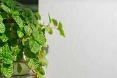 Nature verte fraîche avec les conseils blancs à l'arrière-plan, l'espace f de copie Photographie stock