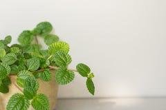 Nature verte fraîche avec les conseils blancs à l'arrière-plan, l'espace f de copie Photo libre de droits