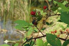 Nature verte rouge de nature de vert de beauté d'été de buisson de beauté de baie juteuse image libre de droits
